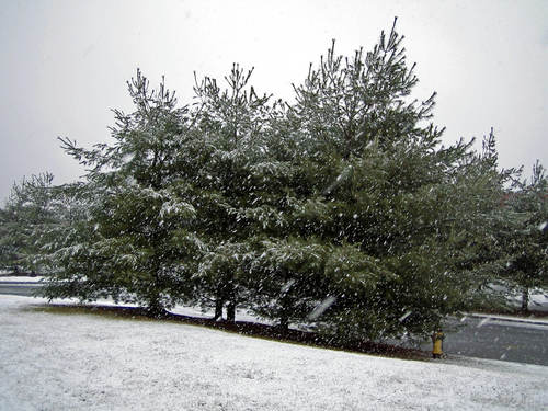 Snow falling on some kind of tree