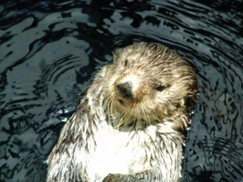 Sea Otter - Aquarium